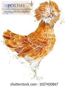 Polish hen. Poultry farming. Chicken breeds series. domestic farm bird