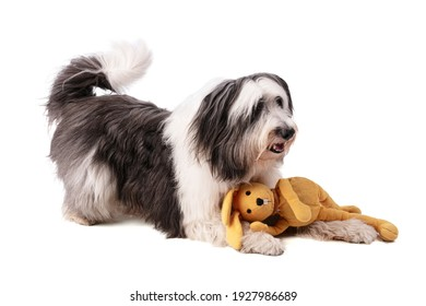 Polish Lowland Sheepdog on white background