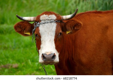 Polish red cow breed. Portrait