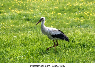 Polish stork isolated on the light green grass background