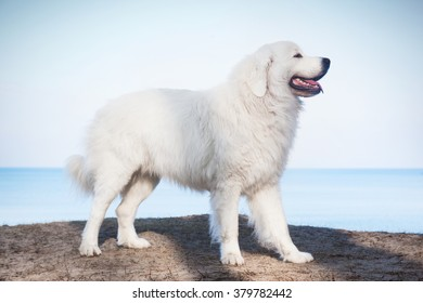 Polish Tatra Sheepdog High Res Stock Images Shutterstock