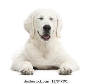 Polish Tatra Sheepdog smiling with eyes closed, (also known as Owczarek Tatrzanski, Owczarek Podhalanski or Polski Owczarek), smiling against white background