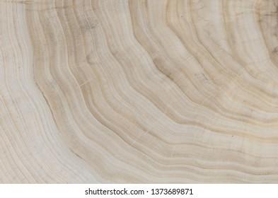 polished cross-section of a poplar tree face closeup