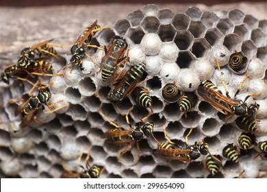 Polistes nimpha, Paper Wasp. Denisovo. Russia