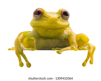 Polka dot tree frog, Hypsiboas punctatus. Animal from the tropical Amazon rain forest. A beautiful curious yellow treefrog isolated on white background
