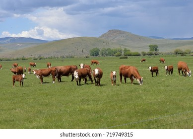 Polled Hereford cattle on pastureland.