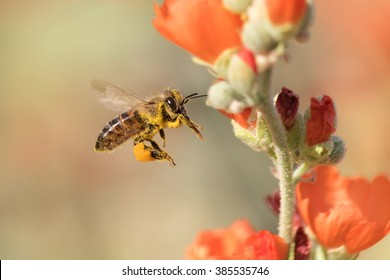 Pollen covered honeybee flying to desert mallow flower