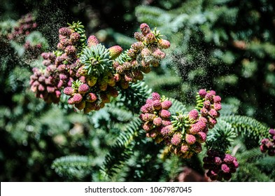Pollen grains come out from a conifer branch moved by the wind