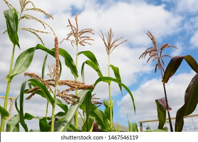 Pollen on a sweetcorn tassel in selective focus, with taller maize plants growing beyond, tassels against a cloudy summer sky