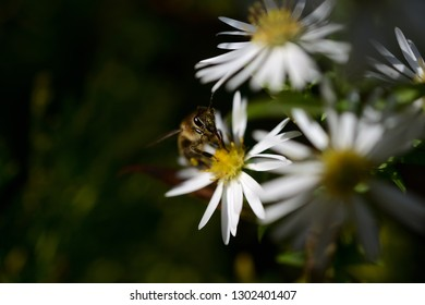 Pollen in the wasp face or honeybee in frontal view on beautiful white spring flowers on dark backgrounds. white flowers and bright yellow blossom with dark background