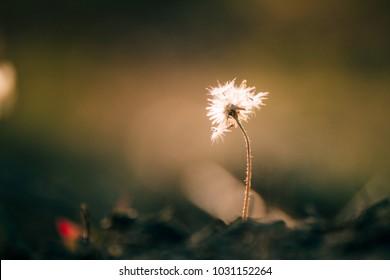 Pollen White grass