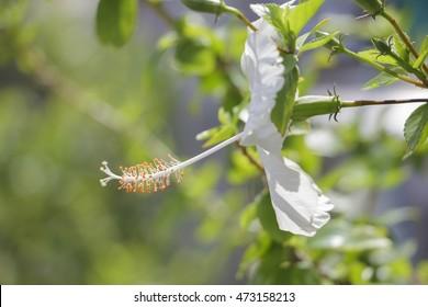 pollen of white hibiscus ; Hibiscus boryanus DC or  Hibiscus festalis Salisb or Hibiscus storckii Seem (selectived focus)