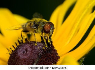 Pollen-covered syrphid fly (Syrphidae family) feeding on black-eyed susan (Rudbeckia hirta). Fly sports black and yellow markings that mimic those of bees, for protection against predators.