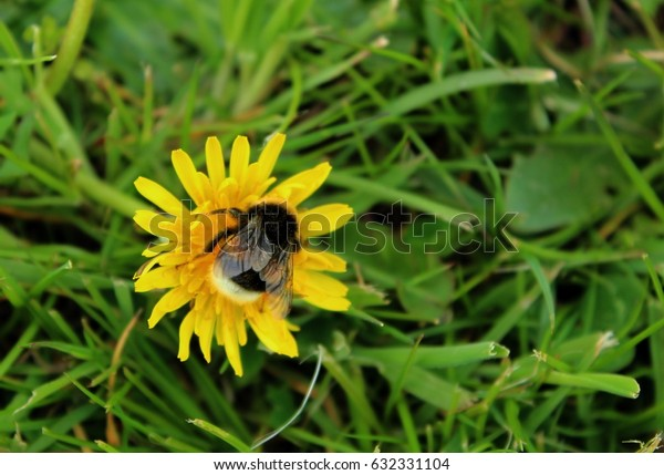 a pollinating bumblebee on a dandelion flower