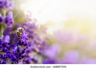 Pollination with bee and lavender with sunshine, sunny lavender