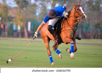 Polo player is using polo mallet hit polo balls during the match.