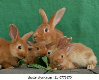 Polonne / Ukraine - 3 June 2018: rabbits eat plantain