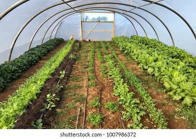 Poly tunnel growing salad