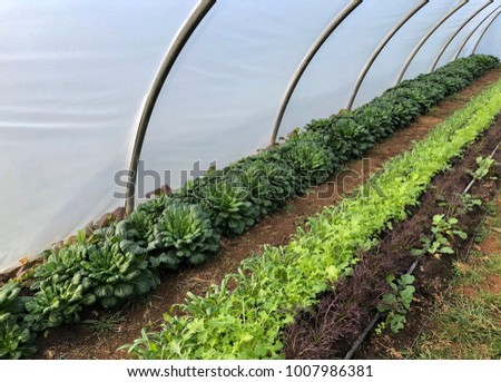 Poly tunnel growing salad