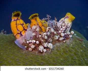 Polycarpa aurata Ink-Spot Sea Squirt also known as the ox heart ascidian, the gold-mouth sea squirt is a species of tunicate in the family Styelidae. are  marine filter feeders with a sac-like body
