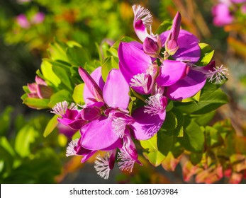 Polygala dalmaisiana, bright pink or deep magenta flowers with winged petals and whitish-purple lacy crest, close up. Sweet Pea shrub or Polygala dazzler is ornamental plant in the family Polygalaceae