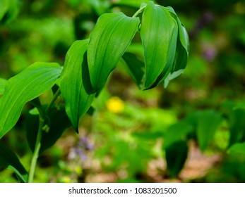 Scented Solomon Seal Images, Stock Photos & Vectors