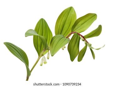Polygonatum sibiricum on white background