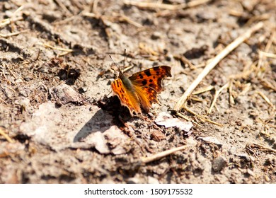 Polygonia c album, comma butterfly - anglewing butterflies