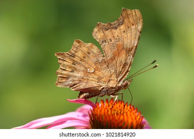 Polygonia c-album, comma, butterfly