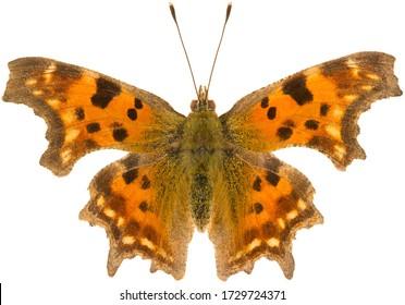 Polygonia c-album, la virgule, est une espèce de papillon appartenant à la famille Nymphalidae. Vue dorsale du papillon à aile blanche isolé sur fond blanc.