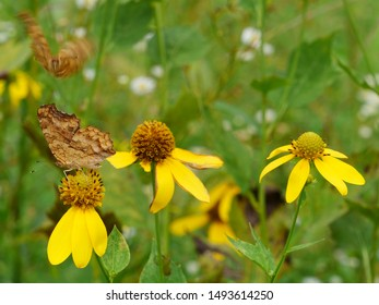 Polygonia c-album, the comma, is a food generalist (polyphagous) butterfly species belonging to the family Nymphalidae. The angular notches on the edges of the forewings are characteristic