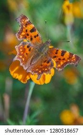 Polygonia interrogationis, the question mark butterfly on a yellow flower.
