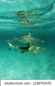 Polynesian sharks in shallow water