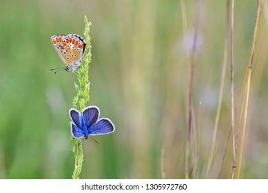 Polyommatus bellargus, Adonis Blue butterfly on field