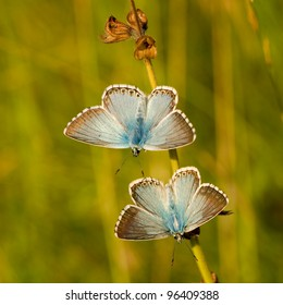 Polyommatus coridon butterfly resting on the stem