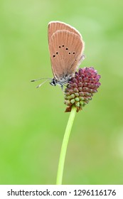Polyommatus semiargus, the Mazarine blue, is a butterfly in the family Lycaenidae.