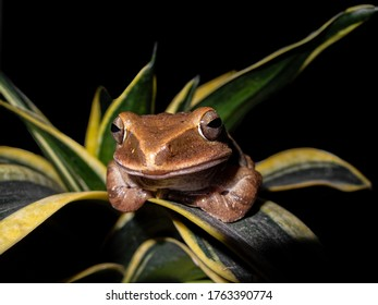 Polypedates leucomystax (Common Tree Frog) sitting on a leaf with a smiling face.