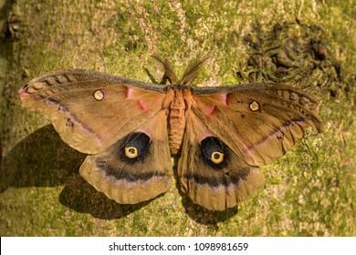 Polyphemus Moth - Antheraea polyphemus,  beautiful large American moth.
