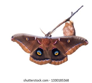 The polyphemus moth, Antheraea polyphemus (Cramer), is one of our largest and most beautiful silk moths. Butterfly next to cocoon.  Isolated on white background