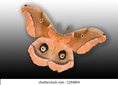 Polyphemus Moth (antheraea polyphemus) isolated on gradient background showing full wing spand of 3 1/2 to 4 inches.