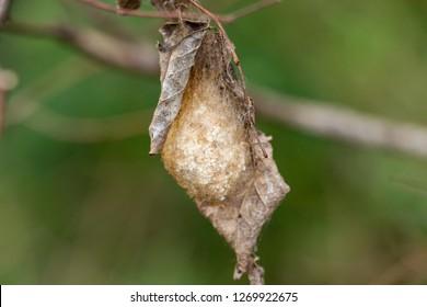 Polyphemus moth cocoon (Antheraea polyphemus) - Long Key Natural Area, Davie, Florida, USA