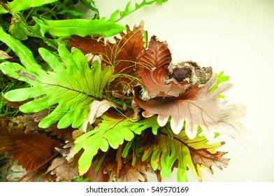 Polypodiaceae Aglaomorpha coronans, Tropical ferns plant.