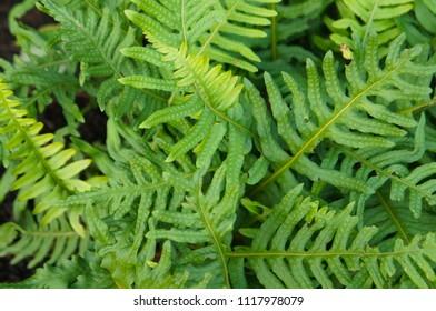 Polypodium cambricum foliage of fern green plant background