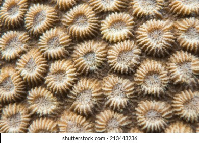 Polyps of coral
