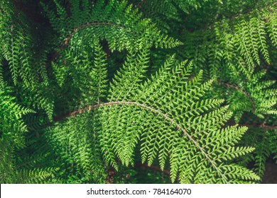 Polystichum setiferum, the soft shield-fern, is an evergreen or semi-evergreen fern. Beautiful view of light falling on leaves. Filled full frame picture. Lush green leaves. Matte frosted effect.