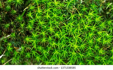 Polytrichum commune (also known as Common haircap moss, Common hair moss, great gold headed or Great Goldilocks). Natural green background. Element of design