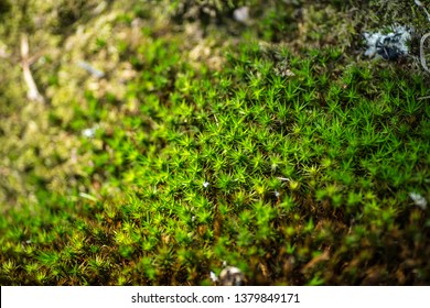 Polytrichum commune (Common haircap moss, Common hair moss, great gold headed or Great Goldilocks). Natural green background. Element of design.