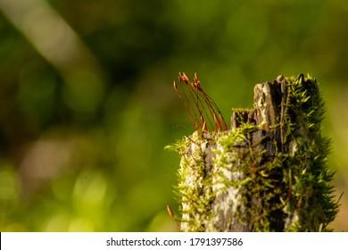 Polytrichum commune (Common polytrichum) macro