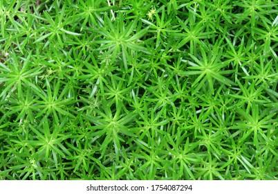 Polytrichum commune Plant,Green grass background