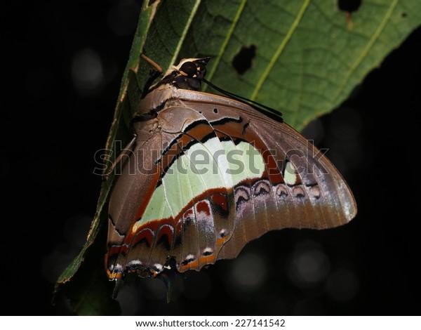 Bộ sưu tập cánh vẩy 4 - Page 18 Polyura-sempronius-butterfly-sleeping-under-600w-227141542